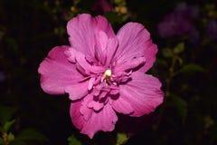 Hibiscus ροζ syriacus Στοκ φωτογραφία με δικαίωμα ελεύθερης χρήσης