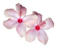 hibiscus ρόδινο λευκό Στοκ φωτογραφίες με δικαίωμα ελεύθερης χρήσης