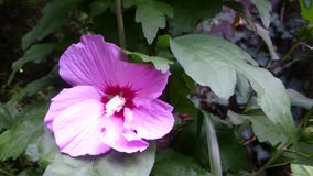 Hibiscus ρόδινο λουλούδι απόθεμα βίντεο