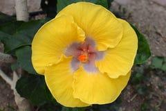 Hibiscus σιφόν λεμονιών Στοκ φωτογραφία με δικαίωμα ελεύθερης χρήσης