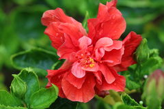 Hibiscus στην άνθιση Στοκ εικόνες με δικαίωμα ελεύθερης χρήσης