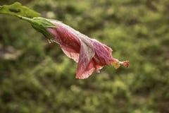 Hibiscus στη δροσιά ξημερωμάτων στοκ φωτογραφίες με δικαίωμα ελεύθερης χρήσης