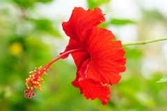 Hibiscus στο κόκκινο με το πράσινο bokeh Στοκ Εικόνα