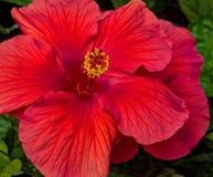 Hibiscus στο κόκκινο Στοκ Εικόνες
