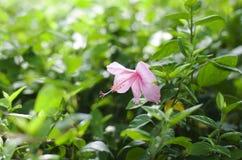 Hibiscus στο πάρκο Στοκ φωτογραφία με δικαίωμα ελεύθερης χρήσης