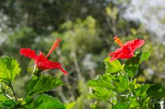 2 hibiscus στο πρόσωπο κήπων μεταξύ τους Στοκ εικόνα με δικαίωμα ελεύθερης χρήσης