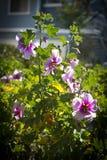 hibiscus συστοιχίας πορφύρα Στοκ Εικόνες