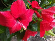 Hibiscus τα κόκκινα λουλούδια και βγάζουν φύλλα στοκ φωτογραφίες με δικαίωμα ελεύθερης χρήσης