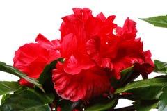 hibiscus της Κίνας αυξήθηκαν Στοκ Εικόνες