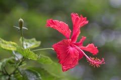Hibiscus το απόγευμα στοκ φωτογραφία