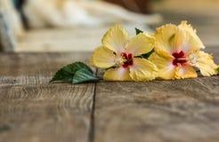 Hibiscus το λουλούδι, Κίνα αυξήθηκε, κινεζικά hibiscus, της Χαβάης hibiscus Στοκ φωτογραφία με δικαίωμα ελεύθερης χρήσης