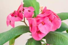 Hibiscus το Rosa-sinensis ή κινεζικά hibiscus ή η Κίνα αυξήθηκαν ή Hawa Στοκ Εικόνα