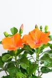 Hibiscus το Rosa-sinensis ή κινεζικά hibiscus ή η Κίνα αυξήθηκαν ή Hawa Στοκ Φωτογραφία