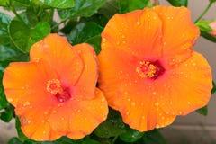 Hibiscus το Rosa-sinensis ή κινεζικά hibiscus ή η Κίνα αυξήθηκαν ή Hawa Στοκ Εικόνες