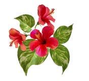 hibiscus Τροπική ρύθμιση λουλουδιών Στοκ Εικόνα