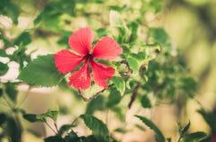 Hibiscus τρύγος λουλουδιών Στοκ φωτογραφία με δικαίωμα ελεύθερης χρήσης