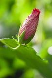 Hibiscus υβρίδιο rosasinensis Στοκ Εικόνες