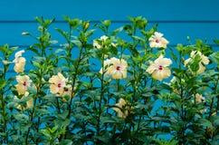Hibiscus χρησιμοποιείται ως φράκτης Στοκ Εικόνες