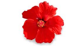 hibiscus цветка Стоковое фото RF