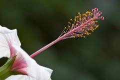 hibiscus цветка Стоковая Фотография RF