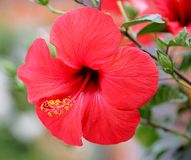 Hibiscus 1. View of nice red hibiscus stock photography