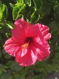 hibiscus Στοκ Εικόνες