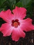 hibiscus imagem de stock royalty free