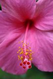 Hibiscus. Purple hibiscus Royalty Free Stock Photography