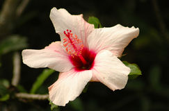 Hibiscus. Rosa sinensis with a nice open flower blooming in the garden outdoors Royalty Free Stock Photography
