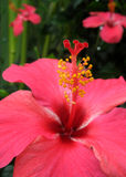 Hibiscus Lizenzfreies Stockbild