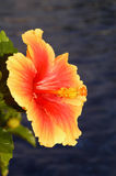 Hibiscus. Macro view of orange Hibiscus flower in bloom with dark background Stock Images