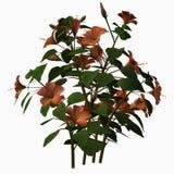 Hibiscus Royalty Free Stock Photo