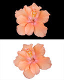 Hibiscus flowers isolated Stock Image