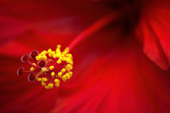 Hibiscus Stockbilder