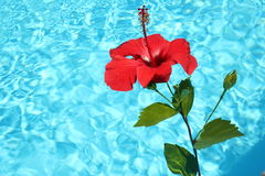 Hibiscus. Tropical pool Royalty Free Stock Image