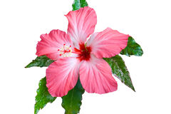 Free Hibiscus Royalty Free Stock Photo - 19690295
