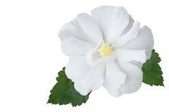 hibiscus Стоковая Фотография
