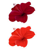 Hibiscus. Illustration of  hibiscus isolated on white background Royalty Free Stock Photography