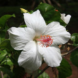 Hibiscus. Square shot of a single blossom of a hibiscus at a bush Royalty Free Stock Photography