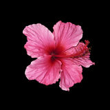 Hibiscus. Square shot of an isolated single blossom of a hibiscus Stock Photos