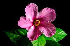 Hibiscus. Isolated on black background Stock Images
