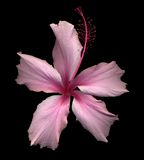 Hibiscus. Pink hibiscus flowers on black with reflection Royalty Free Stock Images