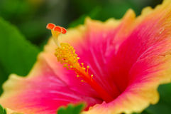 Hibiscus. National flower of Malaysia Stock Images