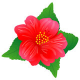 Hibiscus Royalty Free Stock Photo