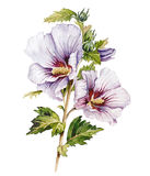 Hibiscus. Watercolor with a hibiscus on a white background Royalty Free Stock Photography
