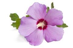 Hibiscus Стоковые Фото