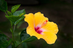 Hibiscus. The national flower of Malaysia Stock Images