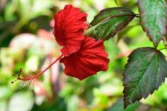 Free Hibiscus Royalty Free Stock Photo - 28653925