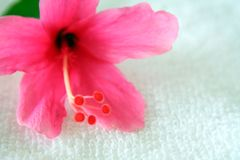 Hibiscus 3 Stock Photo