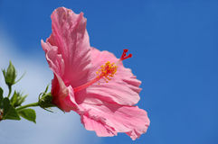 Hibiscus. Pink hibiscus in a blue sky background with copy space Stock Photos